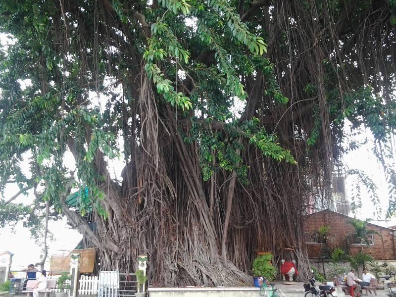 Những 'cụ' cây trăm tuổi ở Biên Hòa - ảnh 1
