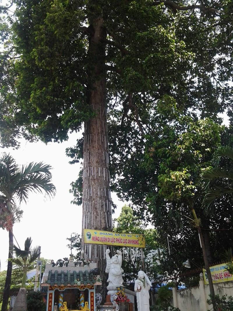 Những 'cụ' cây trăm tuổi ở Biên Hòa - ảnh 2