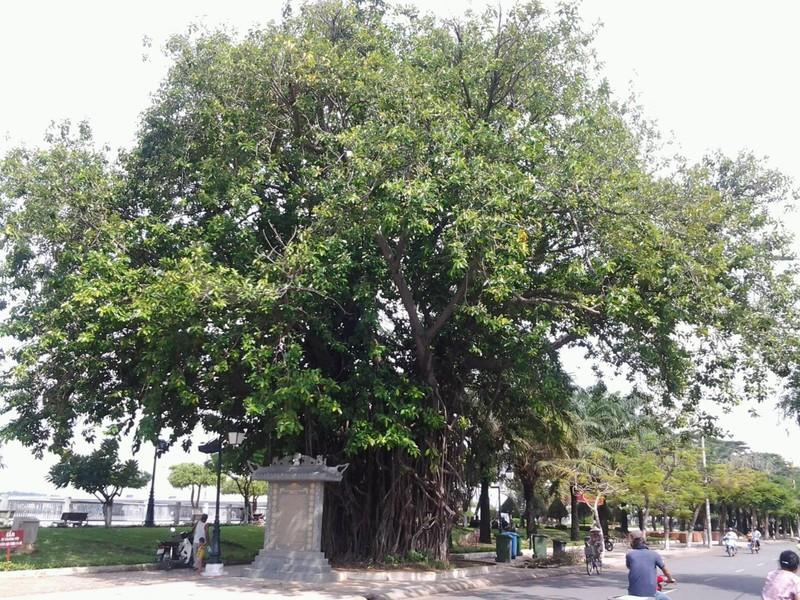 Những 'cụ' cây trăm tuổi ở Biên Hòa - ảnh 4