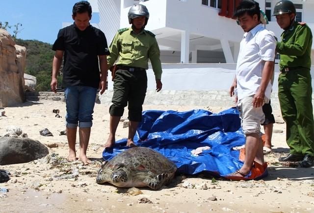 Thả rùa 'khủng', quý hiếm về biển - ảnh 2