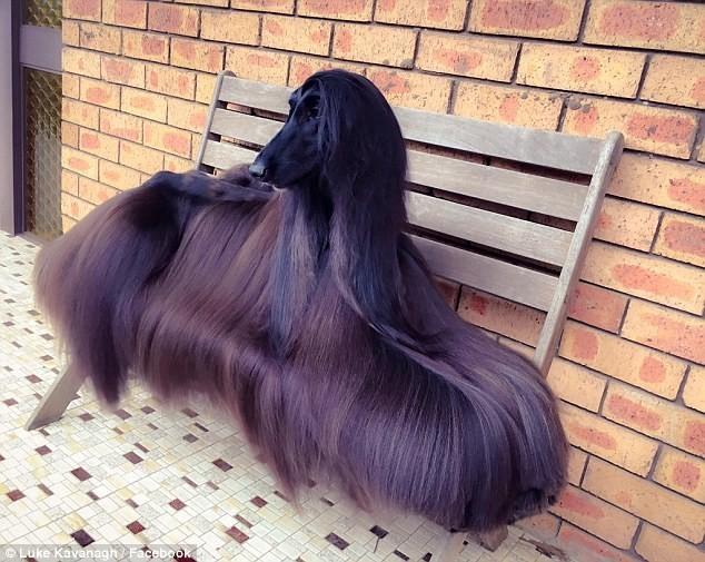 'Siêu mẫu chó' gây sốt với bộ lông dài óng ả - ảnh 1