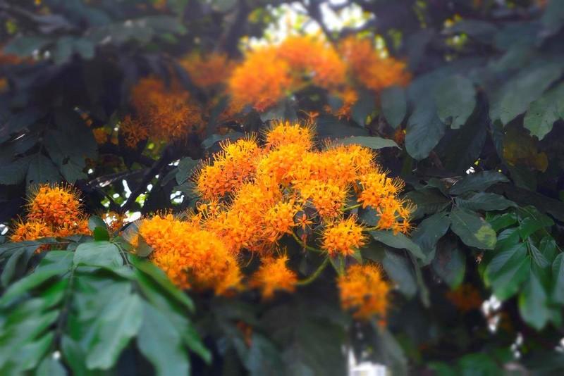 Ngắm hoa vàng anh, 'đặc sản' của rừng Cúc Phương - ảnh 1