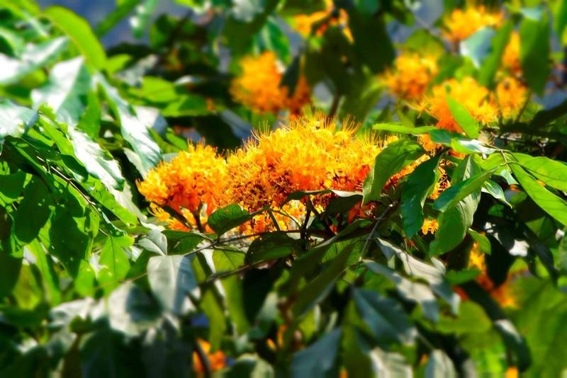 Ngắm hoa vàng anh, 'đặc sản' của rừng Cúc Phương - ảnh 2