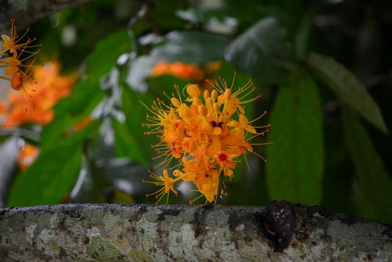 Ngắm hoa vàng anh, 'đặc sản' của rừng Cúc Phương - ảnh 4