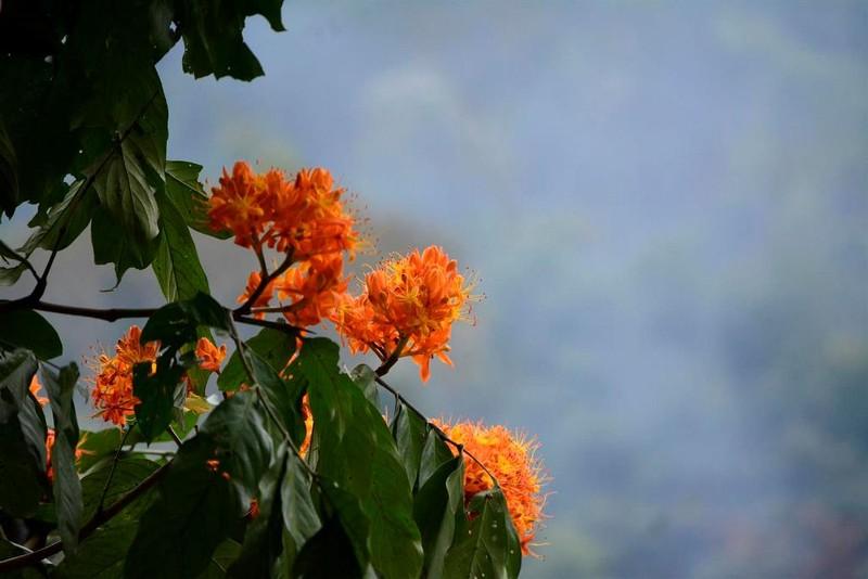 Ngắm hoa vàng anh, 'đặc sản' của rừng Cúc Phương - ảnh 5