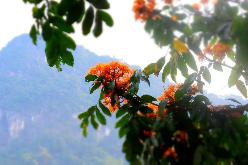 Ngắm hoa vàng anh, 'đặc sản' của rừng Cúc Phương - ảnh 6