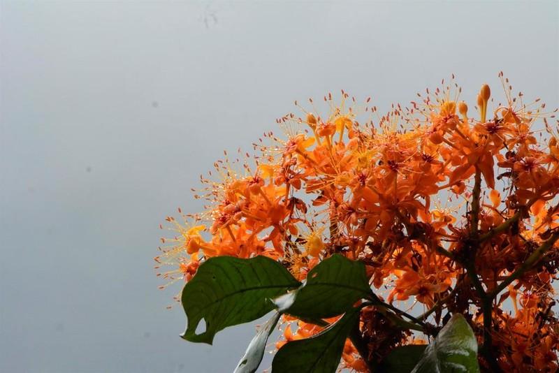 Ngắm hoa vàng anh, 'đặc sản' của rừng Cúc Phương - ảnh 7