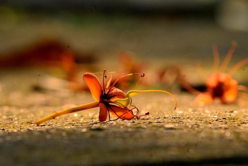 Ngắm hoa vàng anh, 'đặc sản' của rừng Cúc Phương - ảnh 8