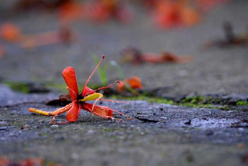 Ngắm hoa vàng anh, 'đặc sản' của rừng Cúc Phương - ảnh 9
