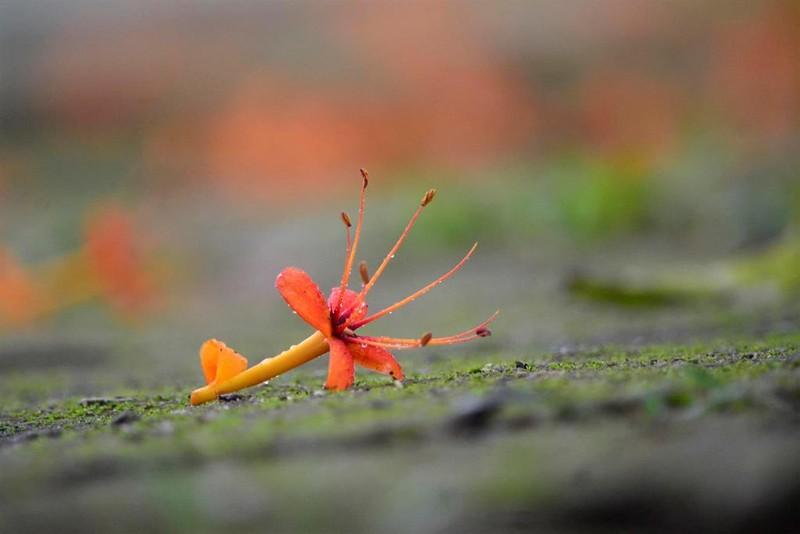 Ngắm hoa vàng anh, 'đặc sản' của rừng Cúc Phương - ảnh 10