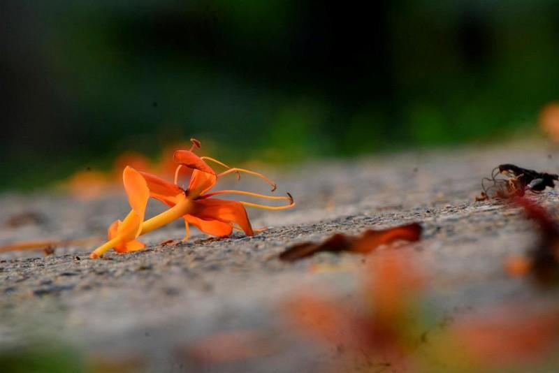 Ngắm hoa vàng anh, 'đặc sản' của rừng Cúc Phương - ảnh 11