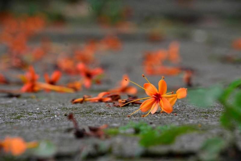 Ngắm hoa vàng anh, 'đặc sản' của rừng Cúc Phương - ảnh 12