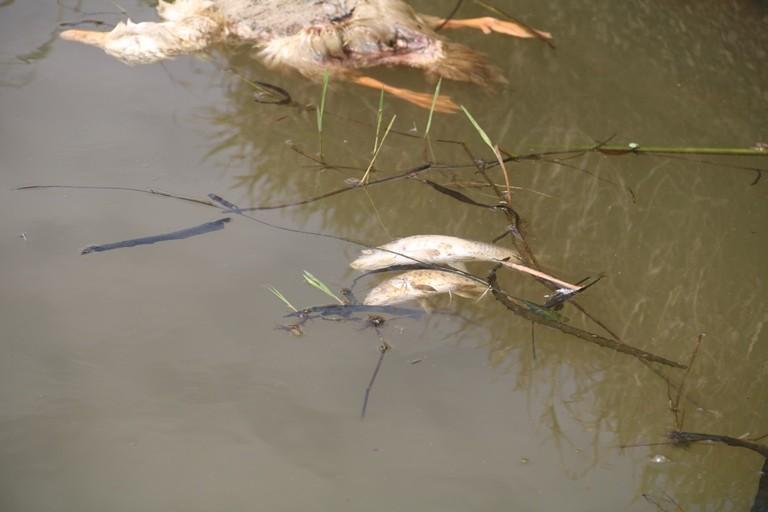 Quảng Nam: Cá chết hàng loạt trên sông Trầu - ảnh 4