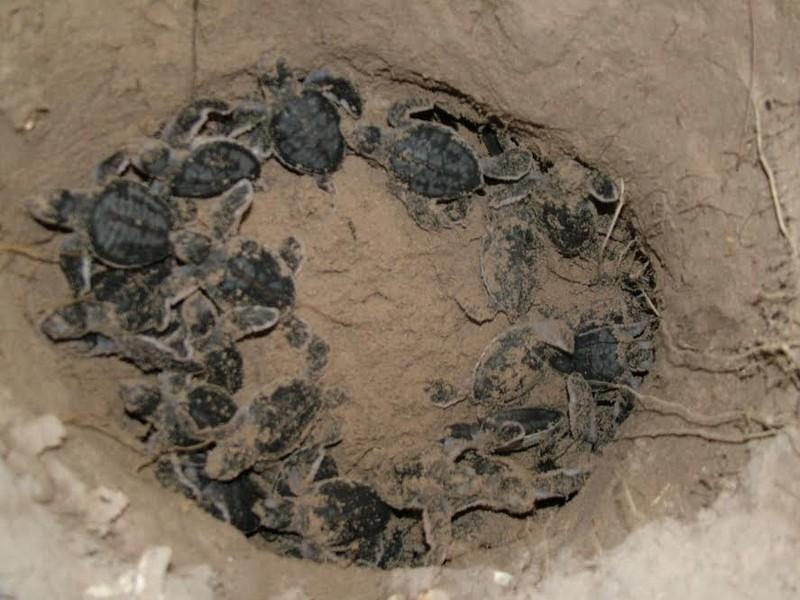 Đề nghị khởi tố vụ án trộm 1.480 trứng rùa biển  - ảnh 2