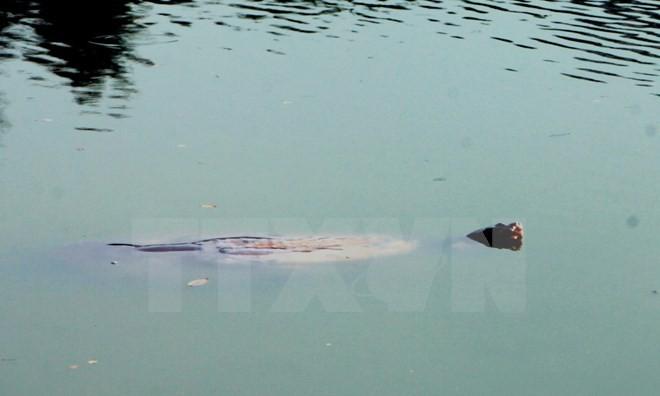 Xác cụ Rùa Hồ Gươm sẽ được đưa vào Bảo tàng Thiên nhiên Việt Nam - ảnh 1