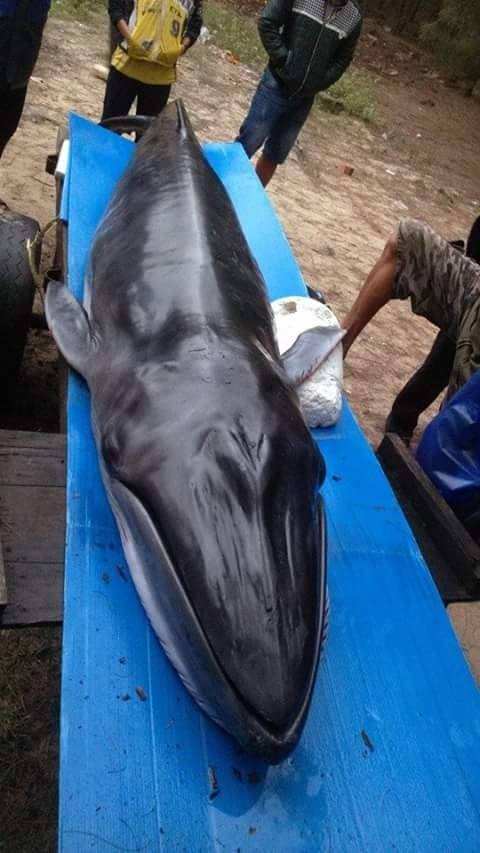 Quảng Nam: Cá voi trọng thương dạt vào bờ - ảnh 2