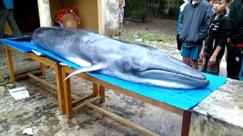 Quảng Nam: Cá voi trọng thương dạt vào bờ - ảnh 1