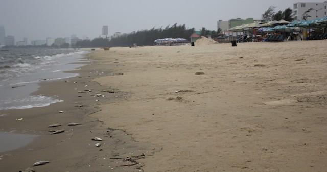 Cá chết xuất hiện dọc bãi biển Đà Nẵng - ảnh 2