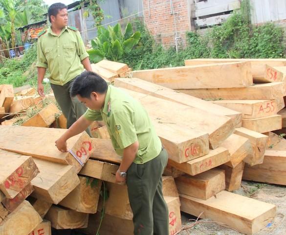 Một lượng lớn gỗ pơ mu bị chặt phá được phát hiện. Ảnh: Huy Trường.
