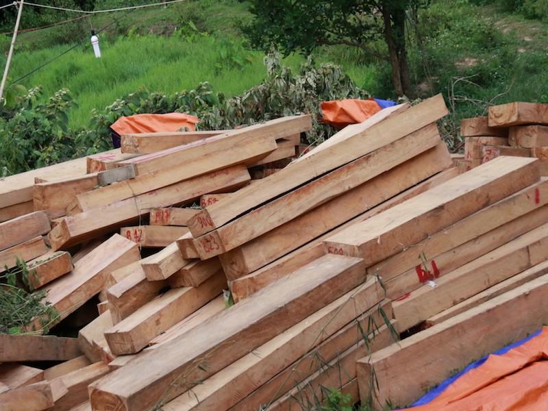 Hàng trăm phách gỗ pơ mu bị chặt phá tại vùng biên giới Quảng Nam và Sê Kông (Lào). Ảnh: HUY TRƯỜNG.