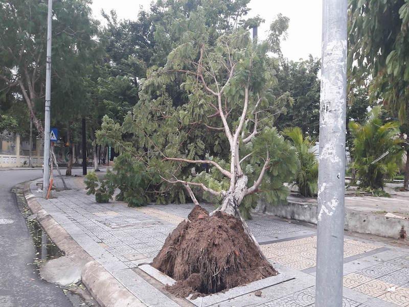 Một cây bật gốc tại khu vực trung tâm