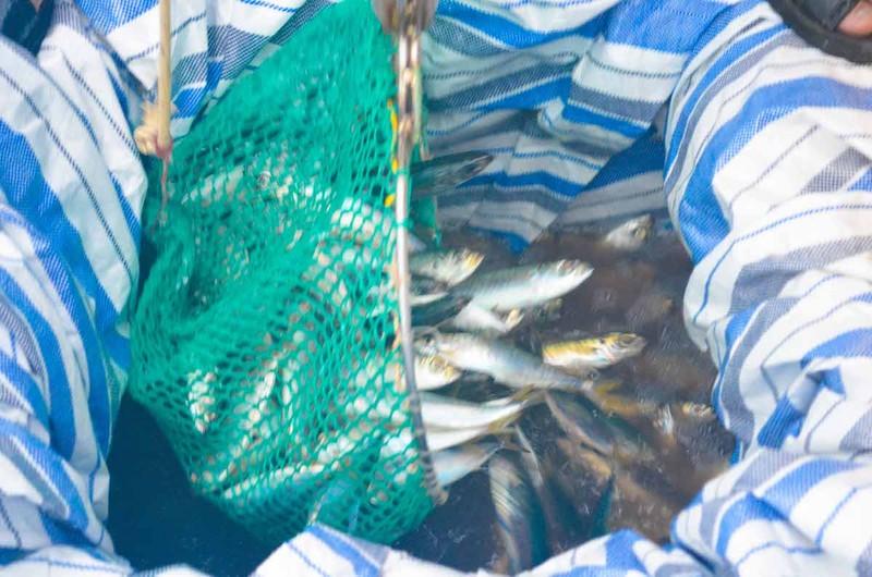 Ngư dân Quảng Ngãi trúng đậm cá biển đầu năm - ảnh 3