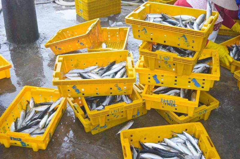 Ngư dân Quảng Ngãi trúng đậm cá biển đầu năm - ảnh 10