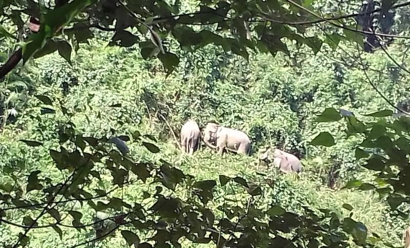 Cả đàn voi rừng về sống cạnh nương rẫy của dân - ảnh 1