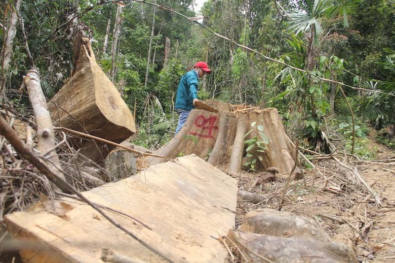 Rừng Quảng Nam lại bị chặt phá không thương tiếc - ảnh 1