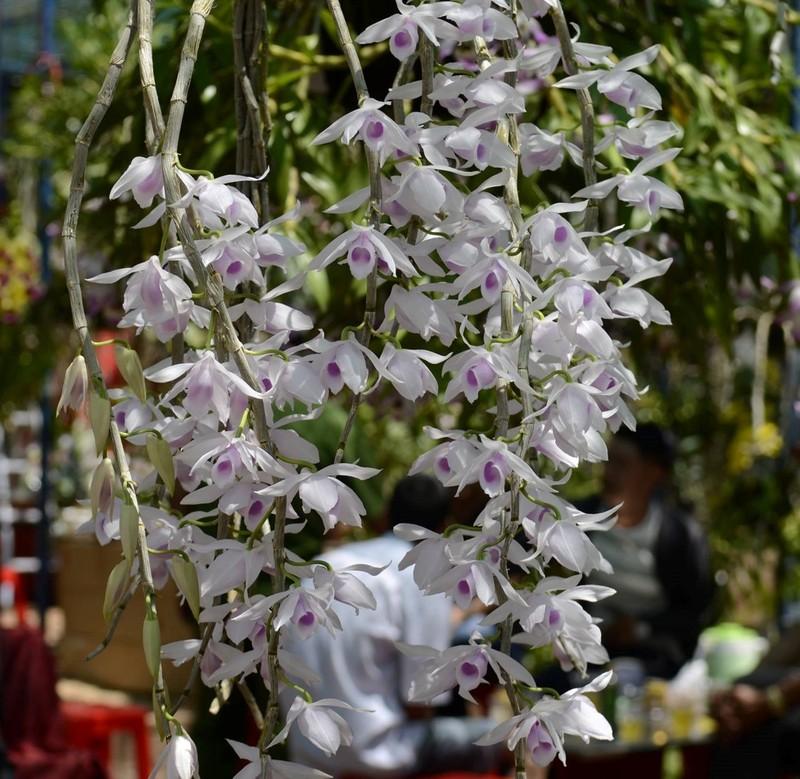 Ngắm hoa lan cực đẹp tỏa sáng trên cao nguyên - ảnh 3
