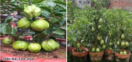 Giống ổi trồng chậu siêu trái tại triển lãm Tôn vinh hàng Việt - ảnh 1