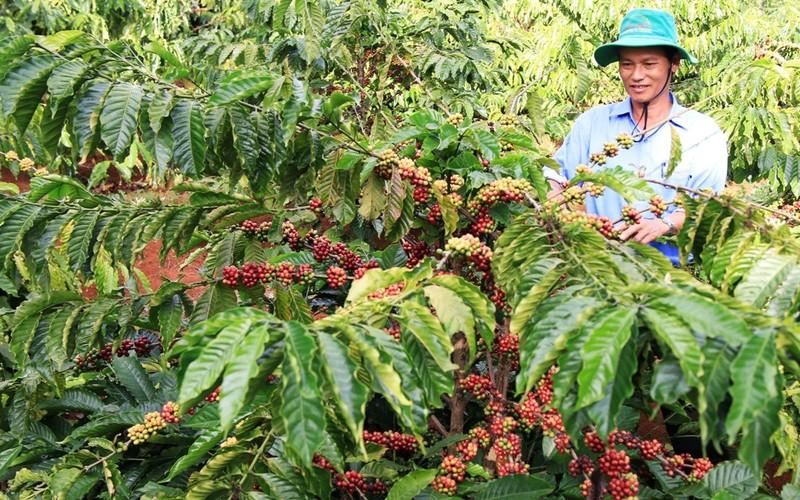 """Agribank - """"Điểm tựa"""" cho tái canh cà phê hiệu quả - ảnh 1"""