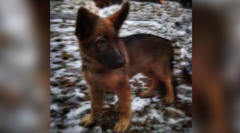 Nga tặng Pháp chó béc giê sau khi 'người hùng bốn chân' Diesel hy sinh - ảnh 1