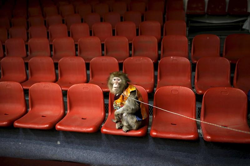 Năm con khỉ, xiếc khỉ lên ngôi - ảnh 13