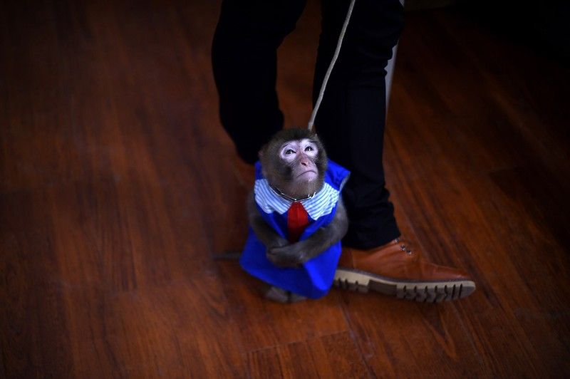Năm con khỉ, xiếc khỉ lên ngôi - ảnh 1
