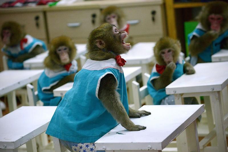 Năm con khỉ, xiếc khỉ lên ngôi - ảnh 2