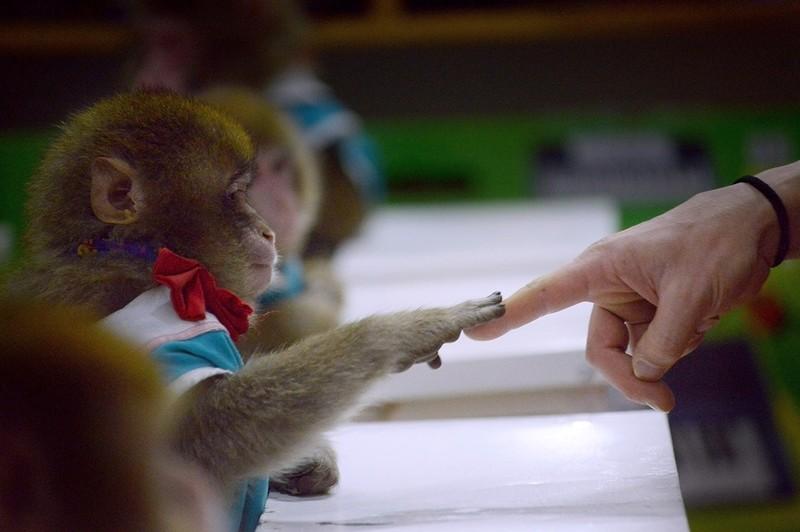 Năm con khỉ, xiếc khỉ lên ngôi - ảnh 8