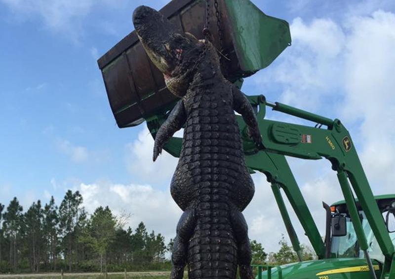 Mỹ bắn chết cá sấu 380 kg ăn thịt gia súc - ảnh 1