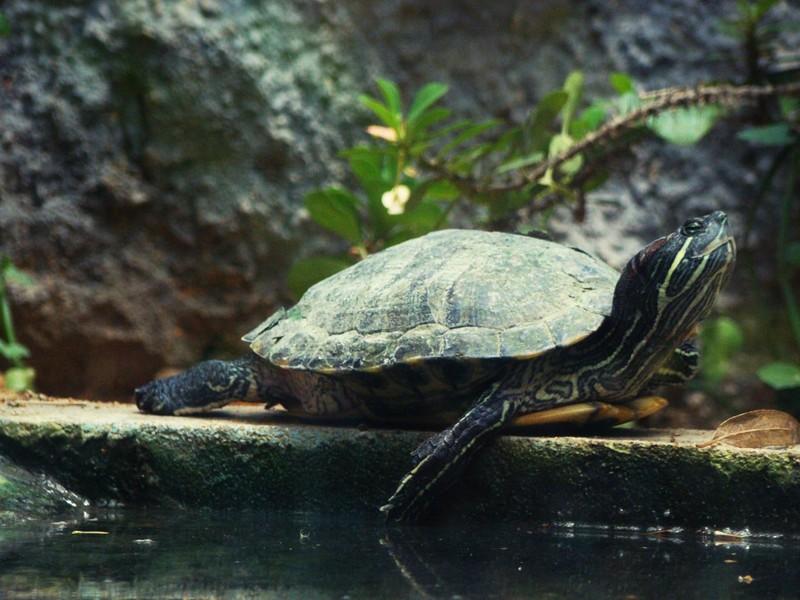 Giấu 51 con rùa trong quần, lĩnh án tù 5 năm - ảnh 1