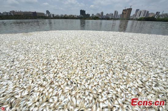 20 tấn cá chết trắng hồ ở Hải Nam, Trung Quốc - ảnh 2