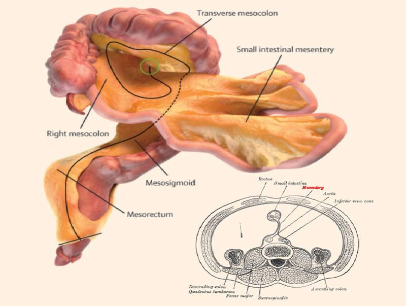 Cơ thể người có thêm bộ phận nội tạng mới - ảnh 1