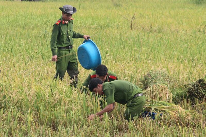 Công an xắn tay xuống đồng gặt lúa giúp dân sau bão - ảnh 3