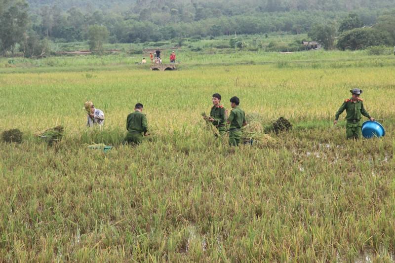 Công an xắn tay xuống đồng gặt lúa giúp dân sau bão - ảnh 1