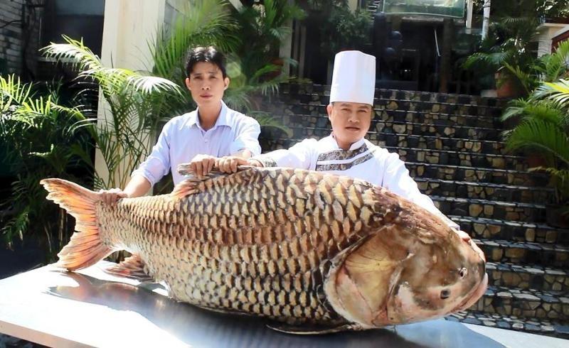 """Cá hô """"khủng"""" hơn 1 tạ ở Campuchia về nhà hàng Sài Gòn - ảnh 1"""