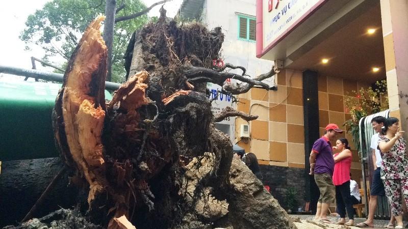 Cây cổ thụ hàng chục mét đổ sập đè người trọng thương ở TP.HCM - ảnh 4