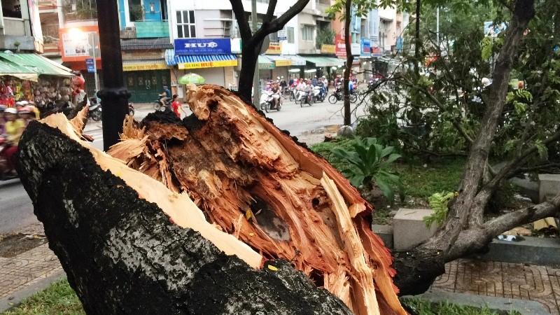 Cây cổ thụ hàng chục mét đổ sập đè người trọng thương ở TP.HCM - ảnh 6