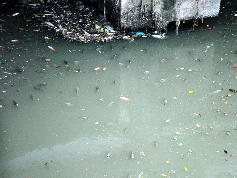 Cá lại nổi đặc kênh Nhiêu Lộc - Thị Nghè - ảnh 2