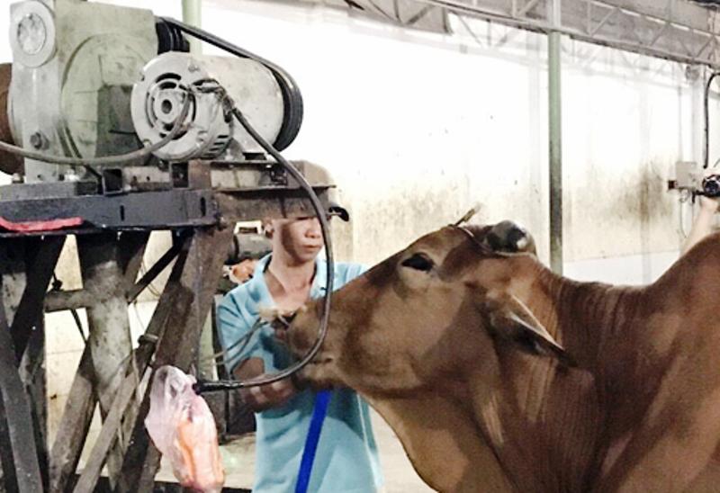 Mỗi con bò kiếm lời thêm 20 kg nhờ bơm nước lã - ảnh 1