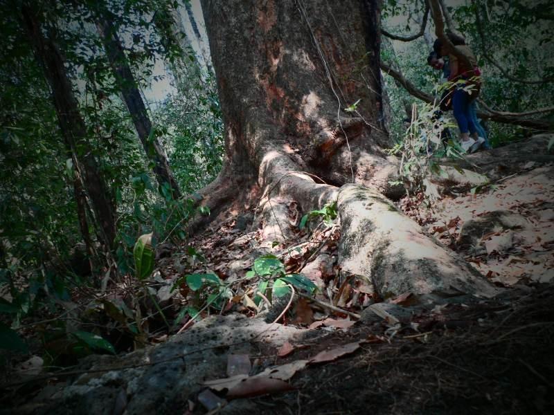 Vào rừng Nam Cát Tiên ngắm cây gõ bác Đồng 700 năm tuổi - ảnh 4