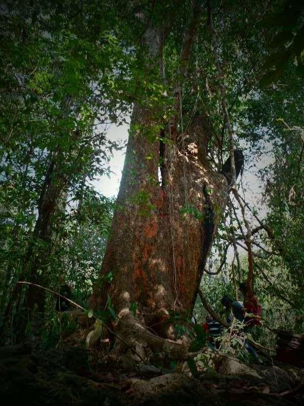 Vào rừng Nam Cát Tiên ngắm cây gõ bác Đồng 700 năm tuổi - ảnh 1